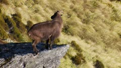 Himalayan tahr bull standing on large rock exits