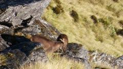Himalayan tahr bulls in rock pile alert start to exit
