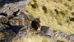 Himalayan tahr bulls in rock pile alert exits