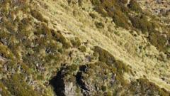 Himalayan tahr bulls fleeing in scrub and tussock