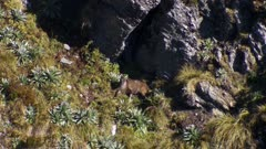Himalayan tahr young bull bedded at base of bluff