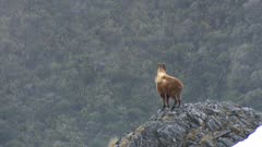 Himalayan tahr two young bulls on rock outcrop summer coat exit
