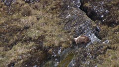 Himalayan tahr young bull summer coat feed on steep slope jumps up