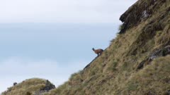 Himalayan tahr young bull watching from skyline wide and tight shots