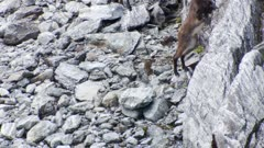 Himalayan tahr young bulls one jumps up onto vertical rock then feeds