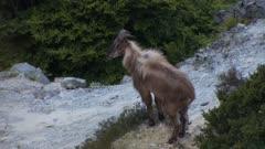 Himalayan tahr young bull