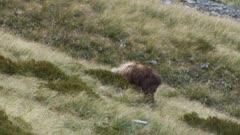 Himalayan tahr bull summer coat thrashing bush with horns dominance display