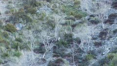 Himalayan tahr young bulls and nannies feeding in tussock and scrub