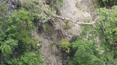 Himalayan tahr young bull feeding on steep forest bluff