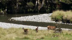 Wapiti cow and two calves feeding on river edge in forest clearing blue duck flies past