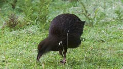 Weka foraging and limping