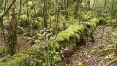 Weka inquisitive slips of mossy log and jumps back