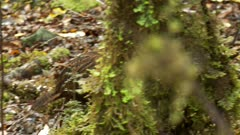 Weka inquisitive walking through forest
