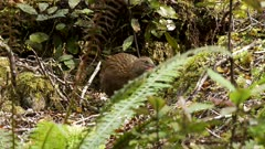 Weka inquisitive feeding on forest floor and grooming