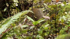 Weka inquisitive feeding on forest floor