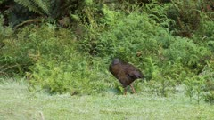 Weka grooming and stretching wings in forest clearing