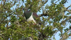New Zealand pigeon Kereru feeding on leaves colorfull