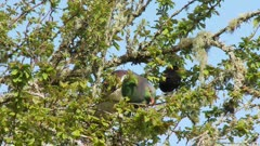 New Zealand pigeon Kereru feeding on leaves male blackbird in background exits