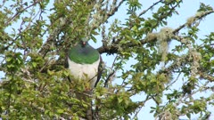 New Zealand pigeon Kereru resting