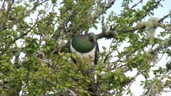 New Zealand pigeon Kereru feeding on leaves