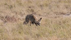 Bat-eared Foxes foraging wind blowing fur