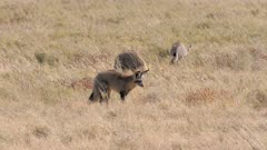 Bat-eared Foxes family group foraging wind blowing fur