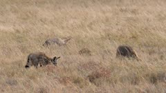 Bat-eared Foxes family group foraging one interaction