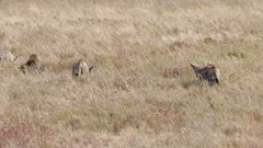 Bat-eared Foxes family group foraging