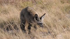 Bat-eared Fox digging