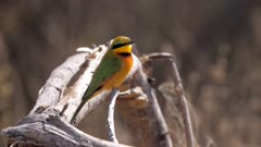 Swallow-tailed bee-eater exits