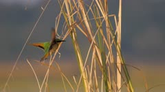 Swallow-tailed bee-eater enters