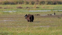 African buffalo feeding on aquatic vegetation in wetland with Spur-winger goose and ducks in back ground