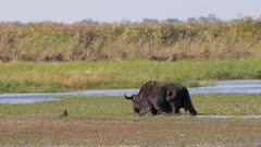 African buffalo feeding on aquatic vegetation in wetland with Oxpeckers on back and white-faced ducks on water