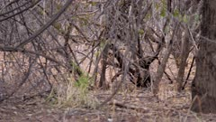 Kirk's dik dik buck checking and laying scent in rutting area