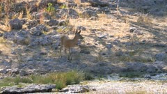 Common duiker near pond helmeted guineafowl races past