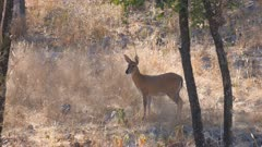 Common duiker alert watching exits