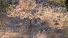 Common duiker watching nervously runs exits