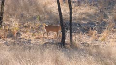 Common duiker walking nervously toward camera