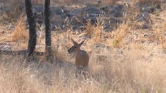 Common duiker watching and listening