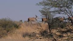 Common eland bulls fleeing