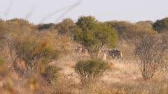 Common eland bulls large herd on the run