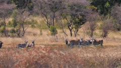 Common eland Gemsbok and one blue wildebeest together on a hot day