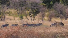 Common eland Gemsbok and one blue wildebeest together on a hot day start to run