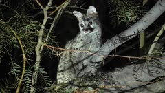 Common Genet watching and listening from an accacia branch
