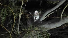 Common Genet watching and listening from an accacia branch ears twitching