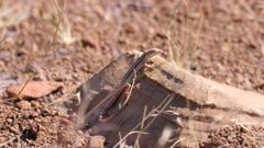 Western rock skink skin on tail still shedding