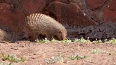 Banded mongoose group foraging for invertebrates
