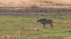 Roan antelope young male walking to waterhole