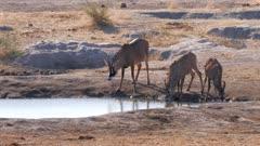 Roan antelope drinking at waterhole