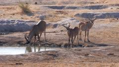 Roan antelope drinking at waterhole watchful
